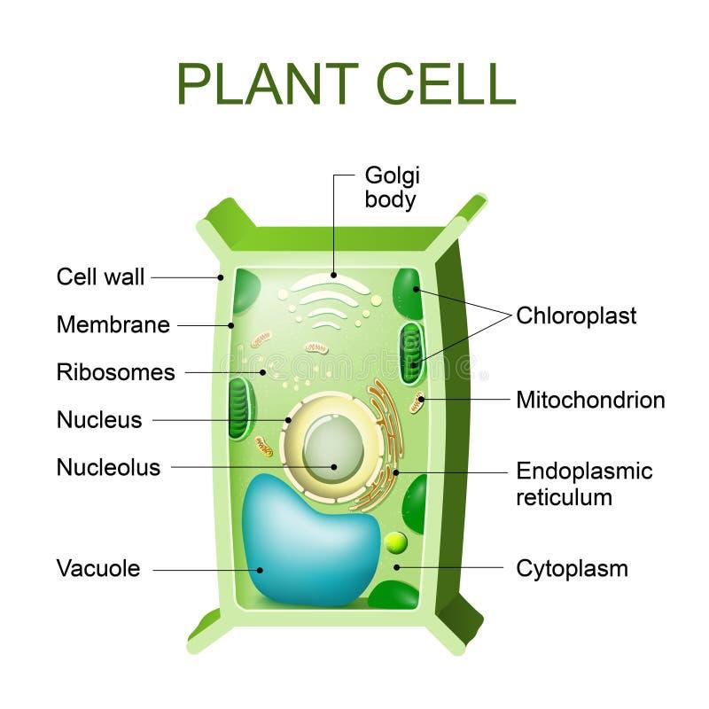 Växtcellanatomi vektor illustrationer
