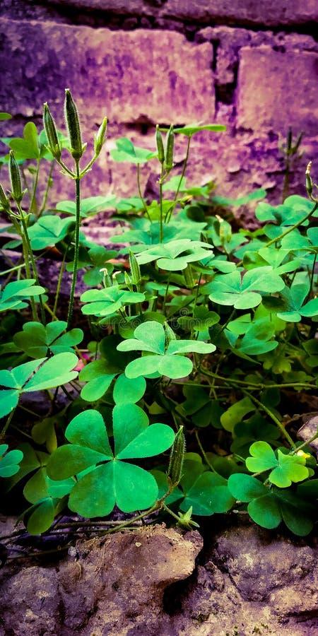 Växten av släktet Trifolium lämnar med frukter royaltyfri fotografi