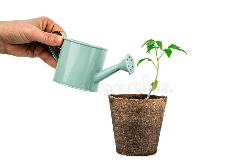 Växten av tomaten med handen och att bevattna kan isolerat på vit royaltyfri foto