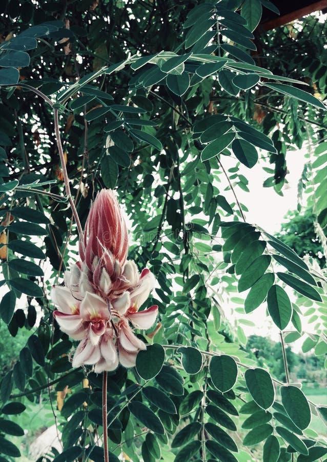 Växten det vetenskapliga namnet är Afgekia mahidolae Burtt och Chermsirivathana Vit- och lilafärgblomma royaltyfria foton