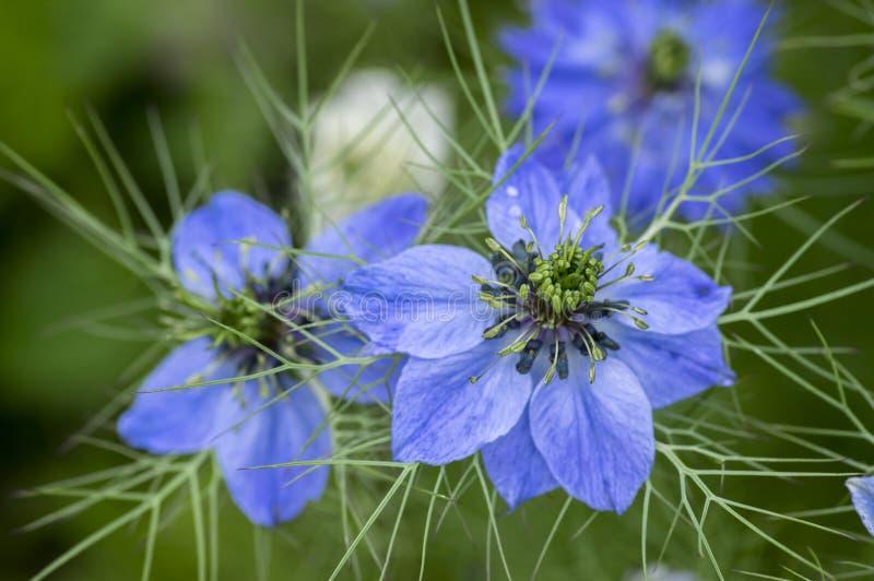 Växten för blomningen för Nigella damascenaförsommar med olika skuggor av blått blommar på den lilla gröna busken, dekorativ träd arkivfoton
