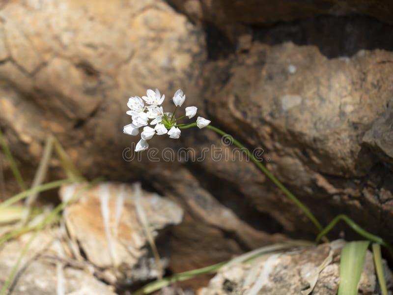 Växten för lös vitlök kämpar för att fortleva i stenig terräng En överlevande trots strapats arkivfoto