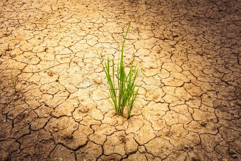 Växten på sprucken jord och torkar i torr säsong royaltyfria foton