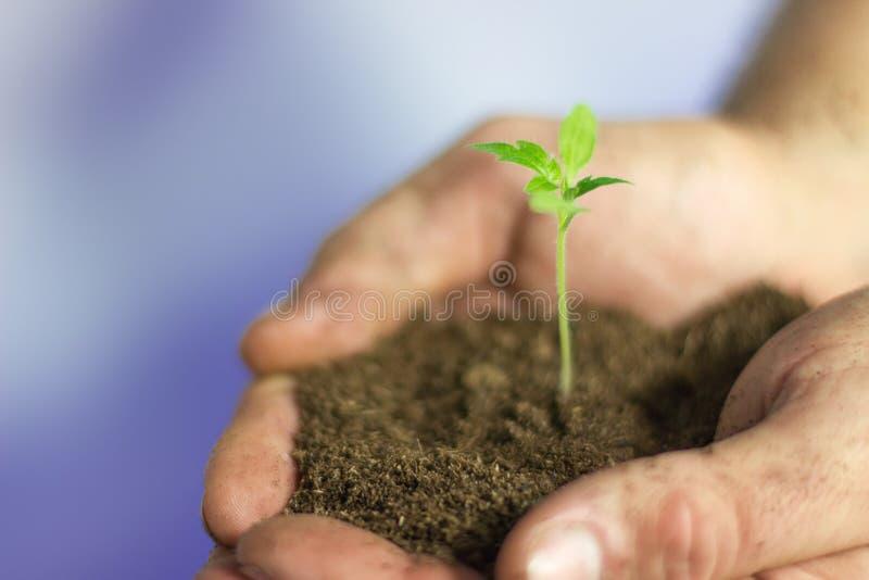Växten räcker in Bonden räcker den hållande unga växten med jord arkivbild