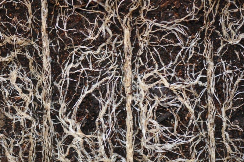 Växten rotar arkivbilder