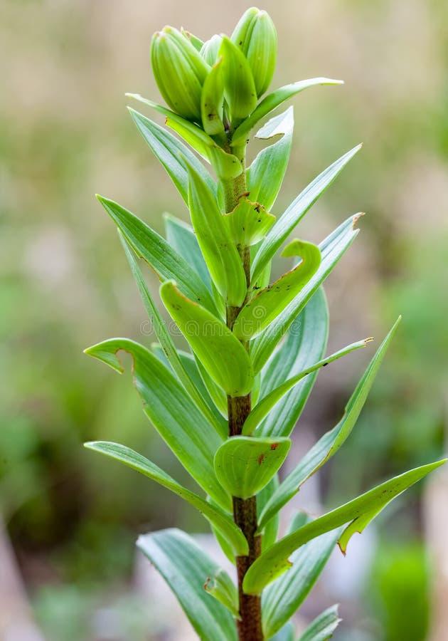 Växter av för liljablad för lilja den skadade skalbaggen royaltyfri fotografi