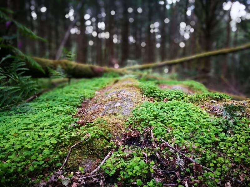 Växter av släktet Trifolium i skogen royaltyfri fotografi
