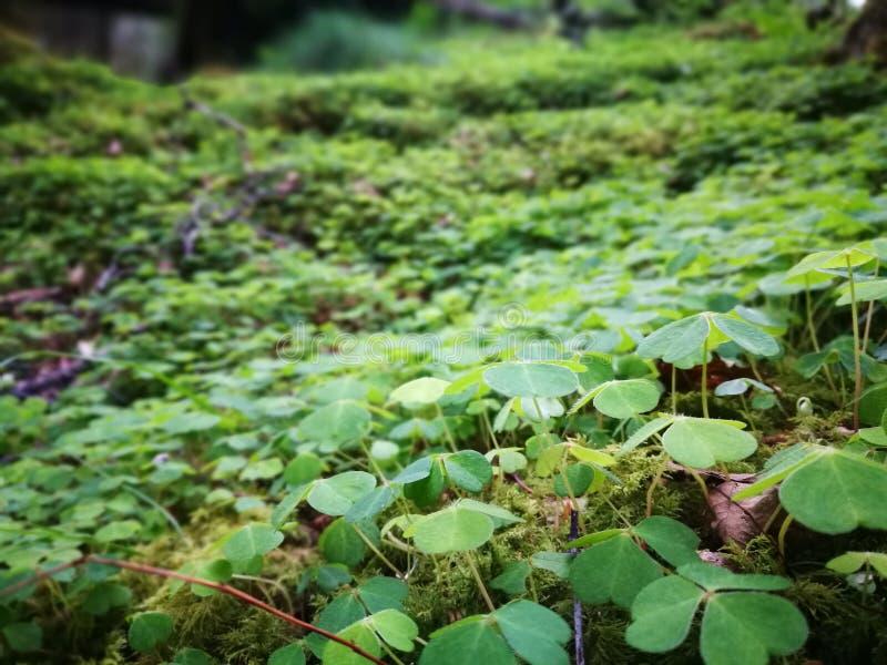 Växter av släktet Trifolium på Forest Floor royaltyfri fotografi