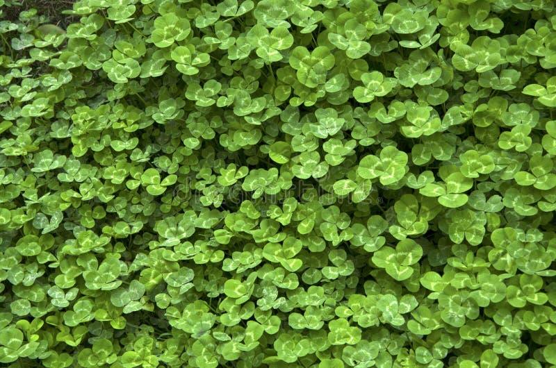 växter av släktet Trifolium på jordningen royaltyfri foto