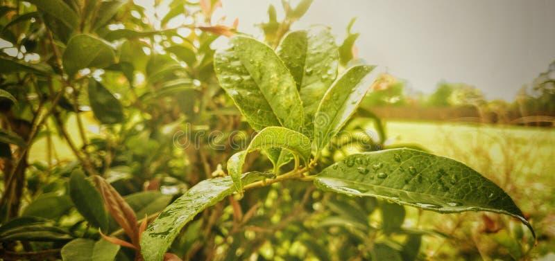 Växter efter en storm i Texas Regnsmå droppar arkivfoto