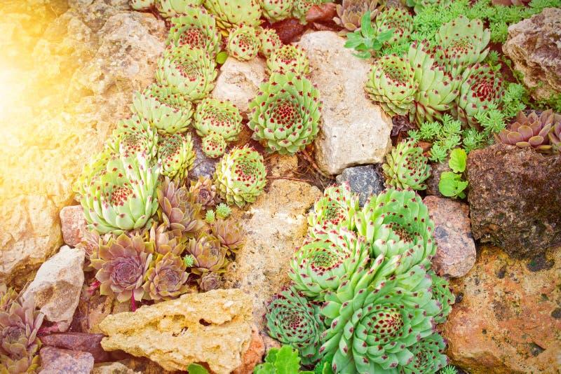 Växter för öken för kaktussuckulentträdgård Agavesuckulenter som växer på stenar royaltyfri fotografi