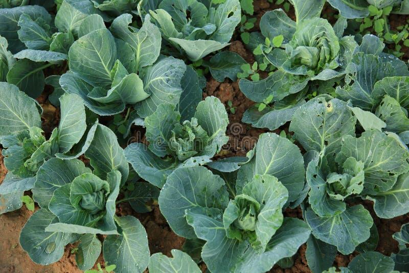 Växter för grön kål arkivfoto