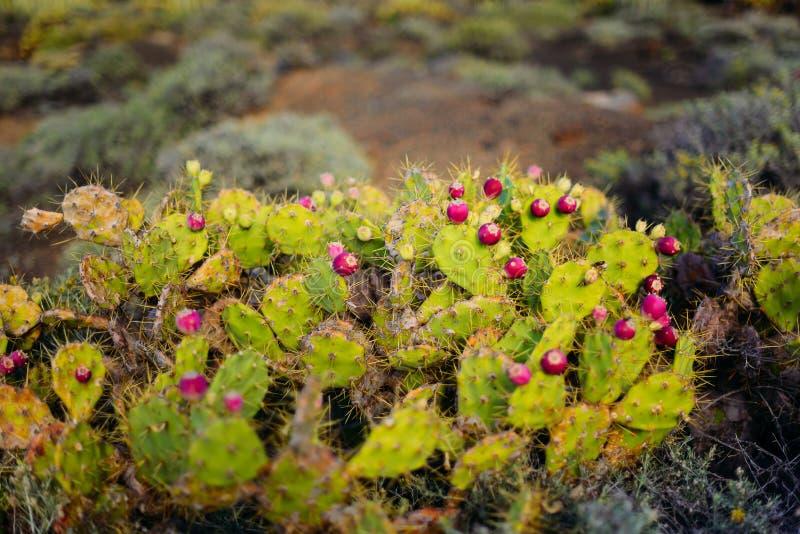 Växter för kaktus Engelmann för taggigt päron royaltyfria foton