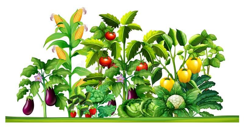 Växter för ny grönsak som växer i trädgården royaltyfri illustrationer
