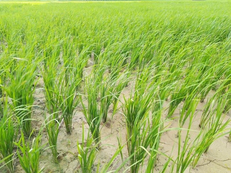 Växter för risfält för risväxt arkivfoton