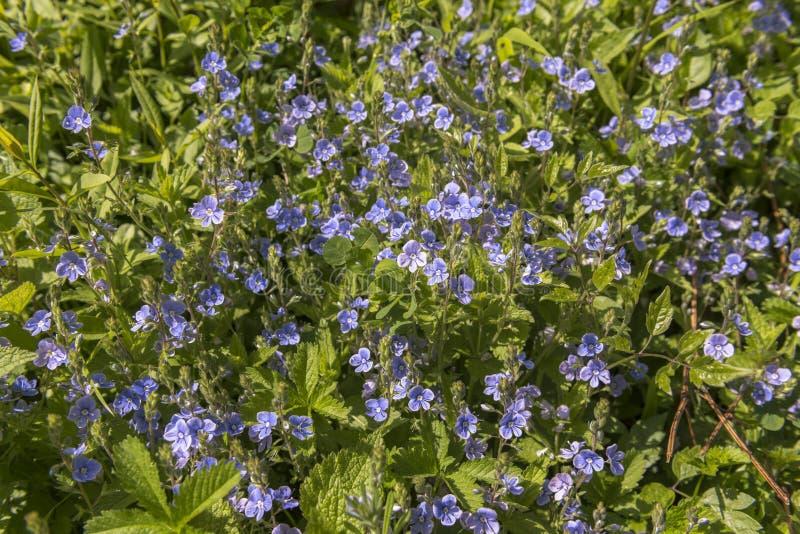 Växter för vårteveronika (Veronica-chamaedrys) blommar fullständigt under vårsolen Också bekant som germanderteveronika eller ver royaltyfria bilder
