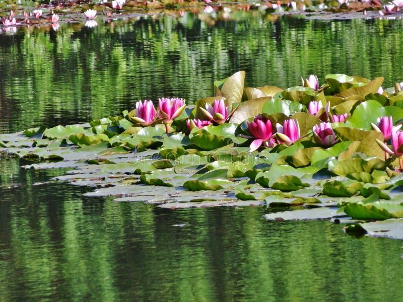 Växter för vatten för Nymphaearosa färger waterlily - arkivfoton