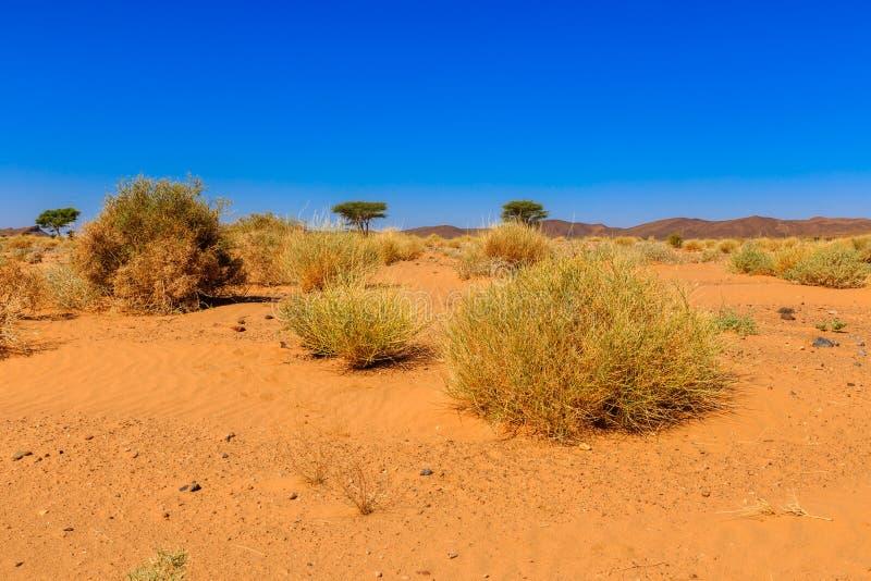 Växter i den Sahara öknen royaltyfri fotografi