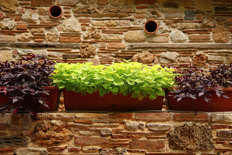 Växter som växer i blomkrukor på en forntida stenvägg arkivbild