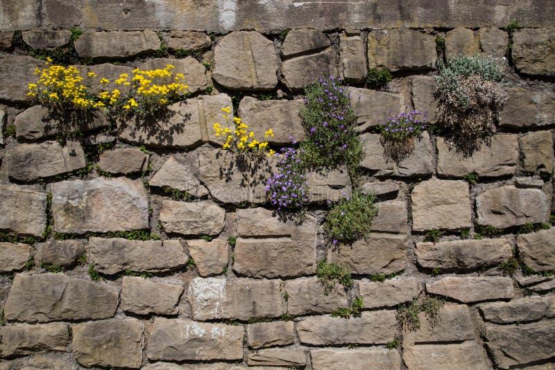 Växter som växer i gammal stenvägg royaltyfri bild