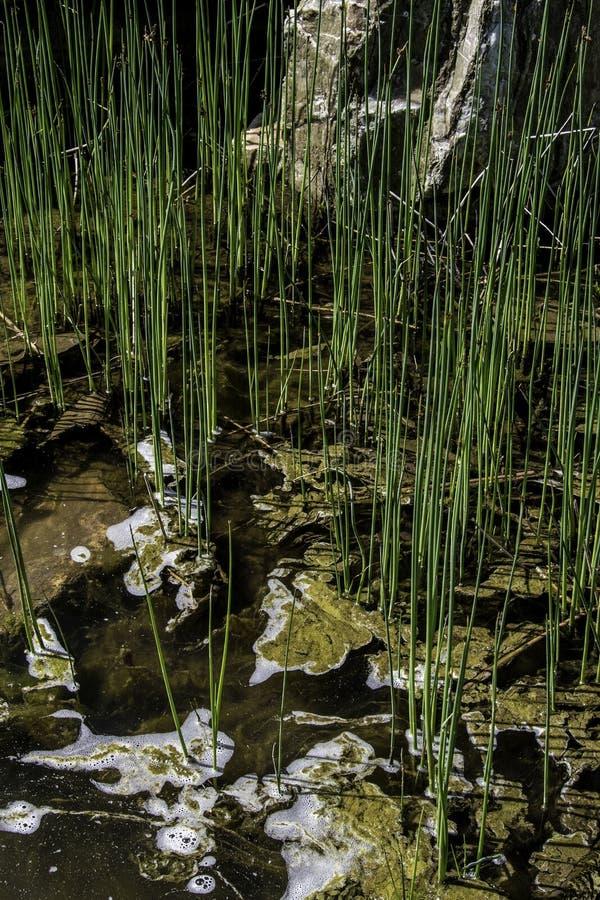 Växter som växer i vattnet i vår arkivbild