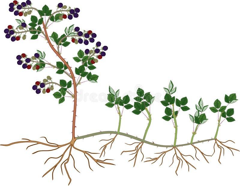 Växtförökning vid sugorganet Intrig för reproduktion för Blackberry växt vegetativ royaltyfri illustrationer
