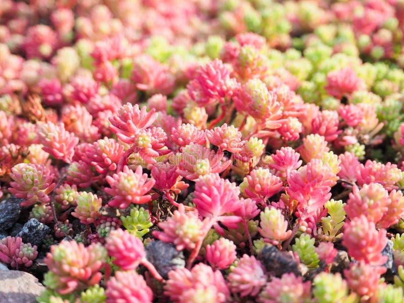 VäxtfetknoppSedum närbild En bosatt matta av växter Dekorativa växter för att landskap arbeta i trädgården och parkerar royaltyfri foto