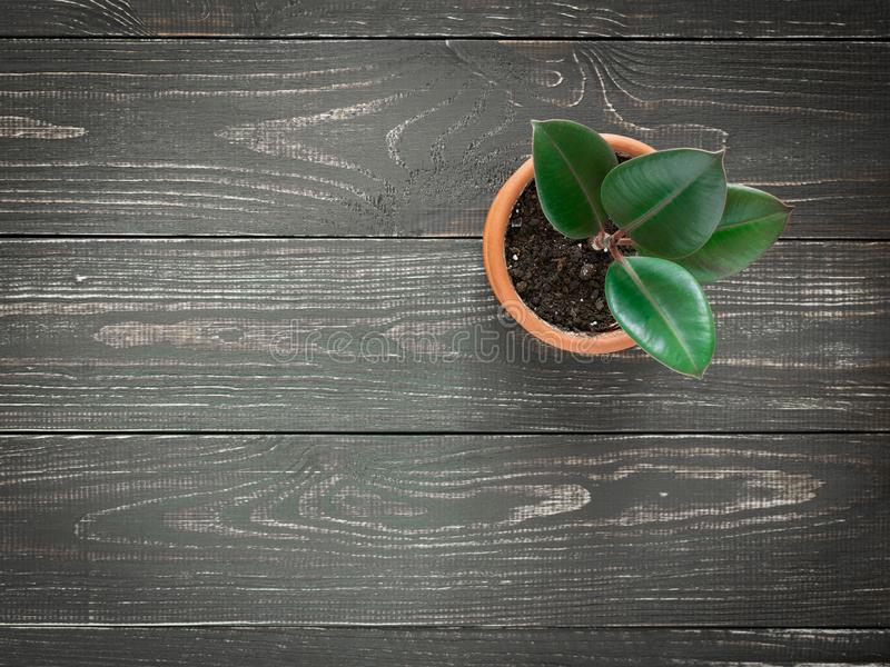 Växtfikuselastica på träbakgrund royaltyfria foton