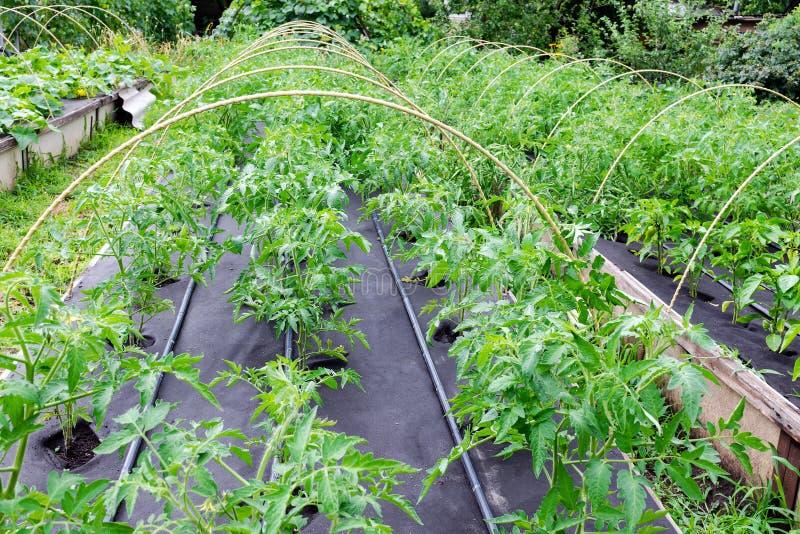 Växthus i en ask för att växa Plantatomat som är fullvuxen i ett lår på en skyddande nonwovenräkning arkivbild