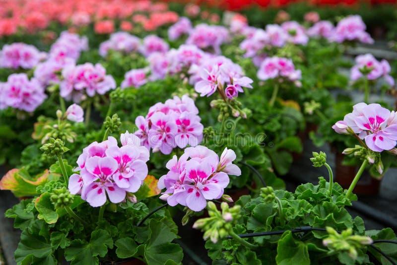 Växthus med blommande pelargonblommor royaltyfria bilder