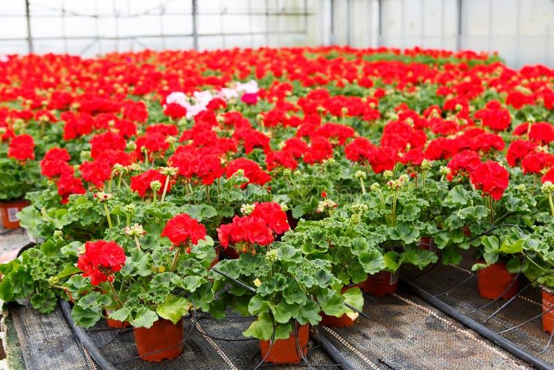 Växthus med blommande pelargonblommor arkivbilder