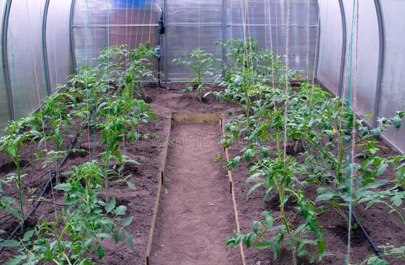 Växthus med tomater arkivbilder