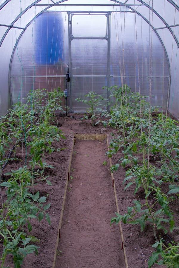 Växthus med tomater arkivfoto