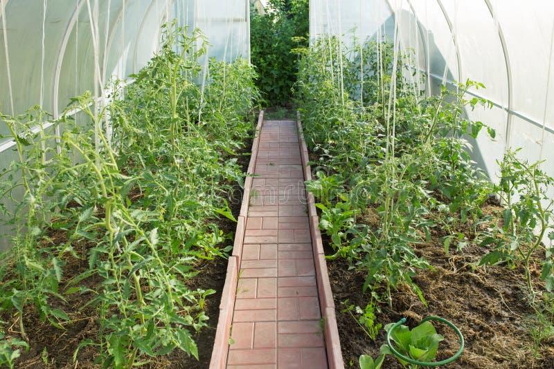 Växthus med tomater royaltyfri fotografi