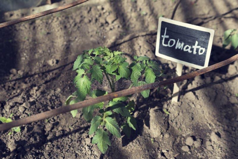 Växthus med tomatplantan signboard royaltyfri fotografi