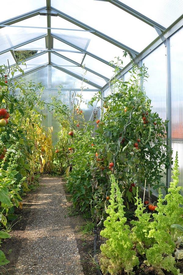 växthuset planterar tomaten royaltyfria bilder