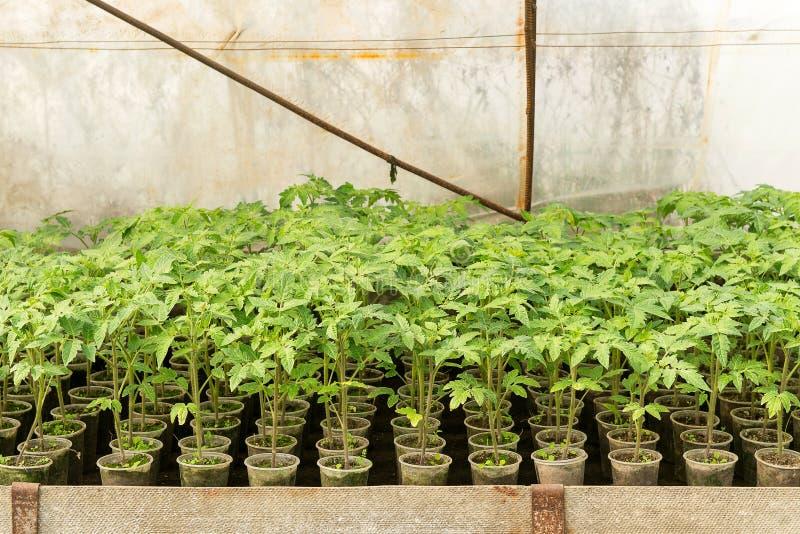 växthusväxter, droppbevattning, växthusodling av tomater i agricultu fotografering för bildbyråer