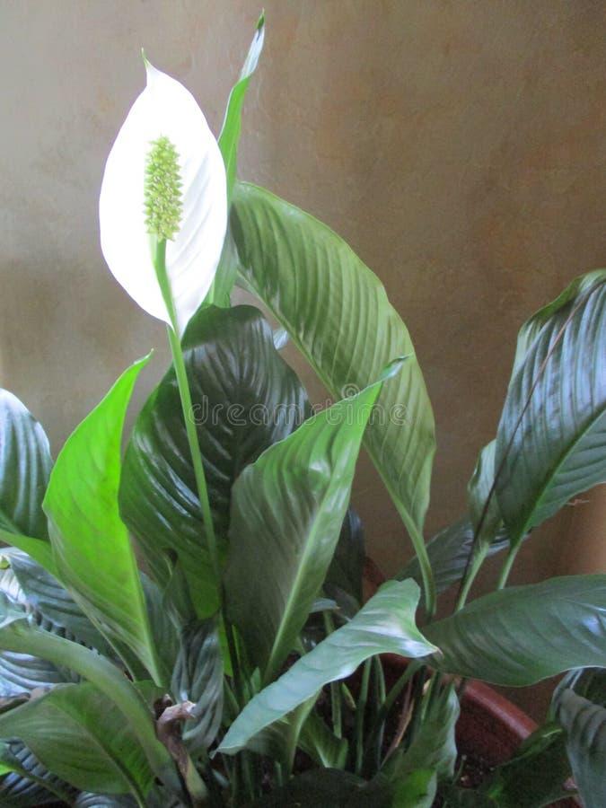 Växtnoja royaltyfria bilder