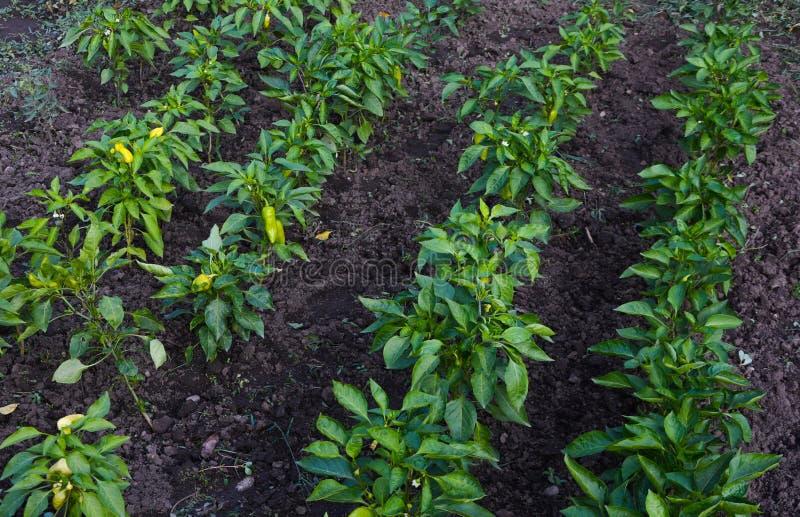 Växtsängar av spanska peppar i trädgården i byn arkivfoto