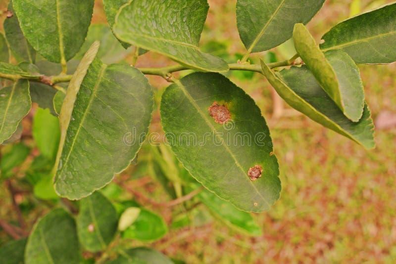 Växtsjukdom, citrus kräfta som hemsökas på limefruktbladet royaltyfria bilder