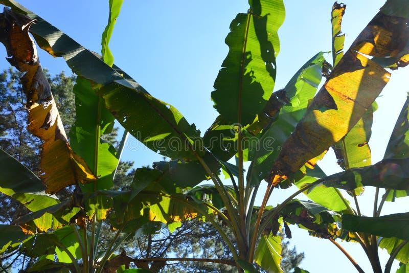 Växtsjukdom på ett bananblad royaltyfri fotografi