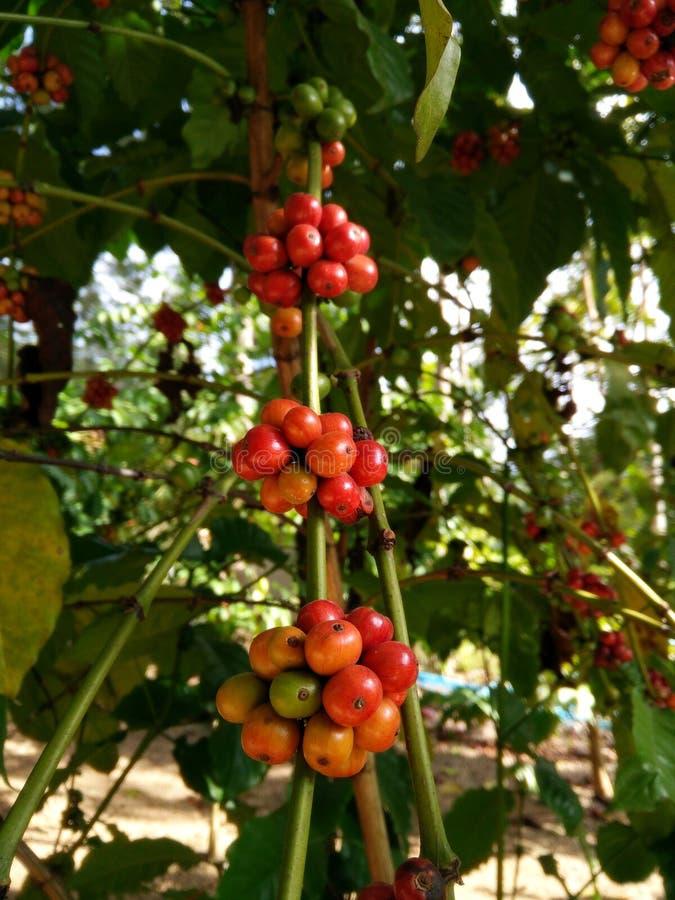 Växtträd för Robusta kaffe Mogna röda körsbärsröda bönor bildar Ratchburi, Thailand fotografering för bildbyråer