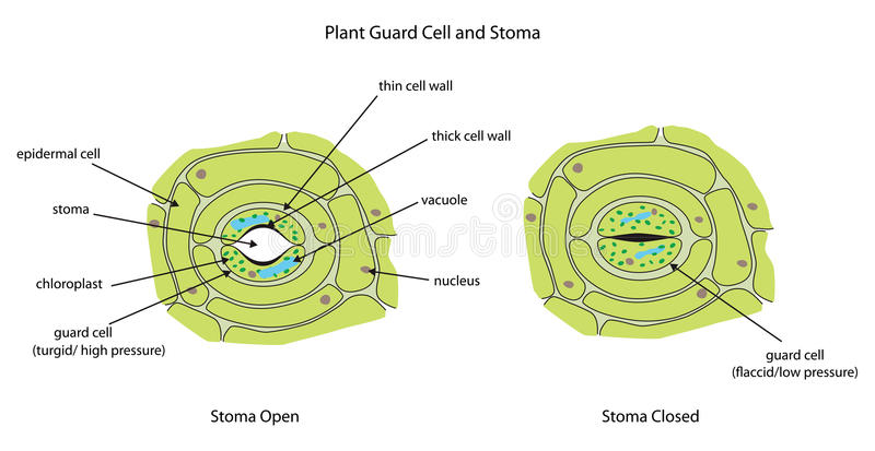Växtvaktceller med stoma som märks fullständigt stock illustrationer