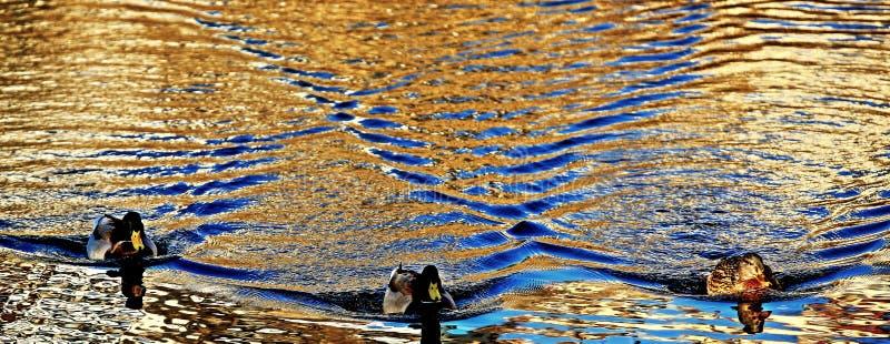 Vågor på vattenyttersida och 3 änder royaltyfri foto