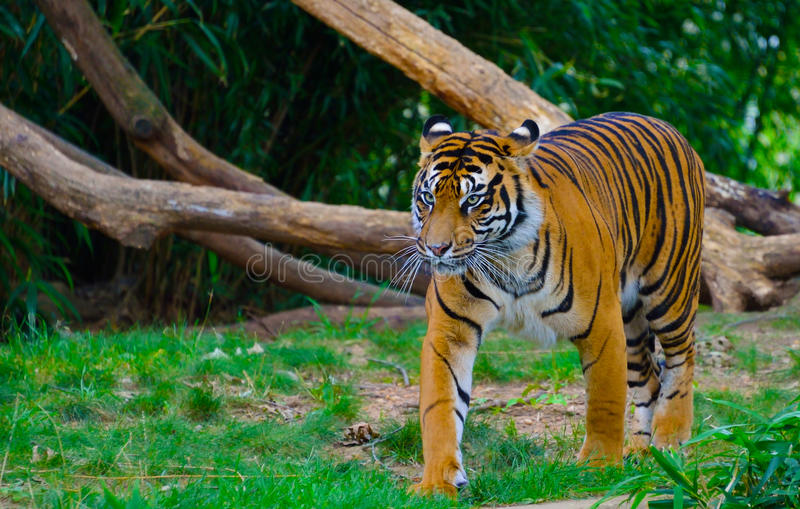 våldsam tiger arkivbild