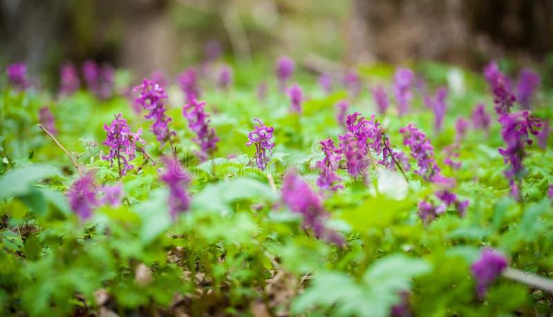 Våräng av den violetta blomman Stäng sig upp av purpurfärgade blommor för den första våren i skogen arkivbild