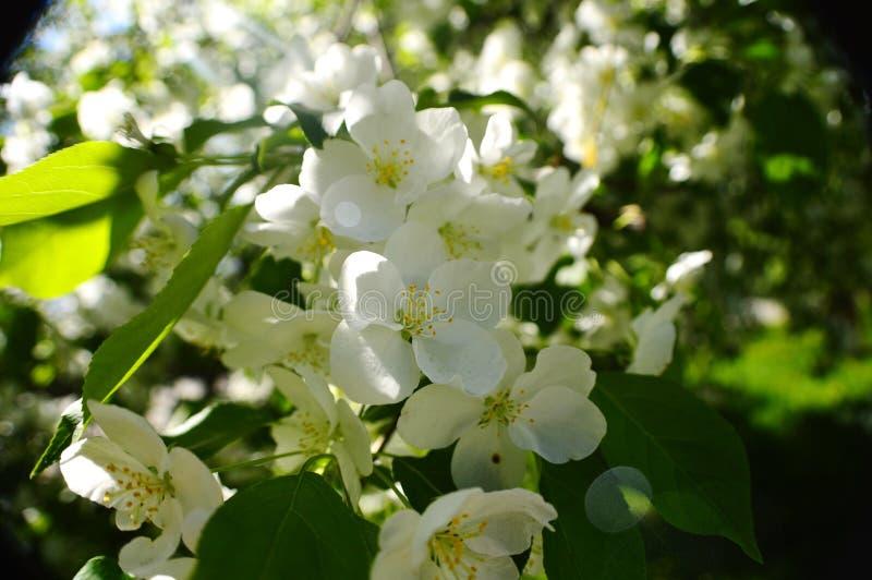 Våräpplefruktträdgårdar arkivfoto