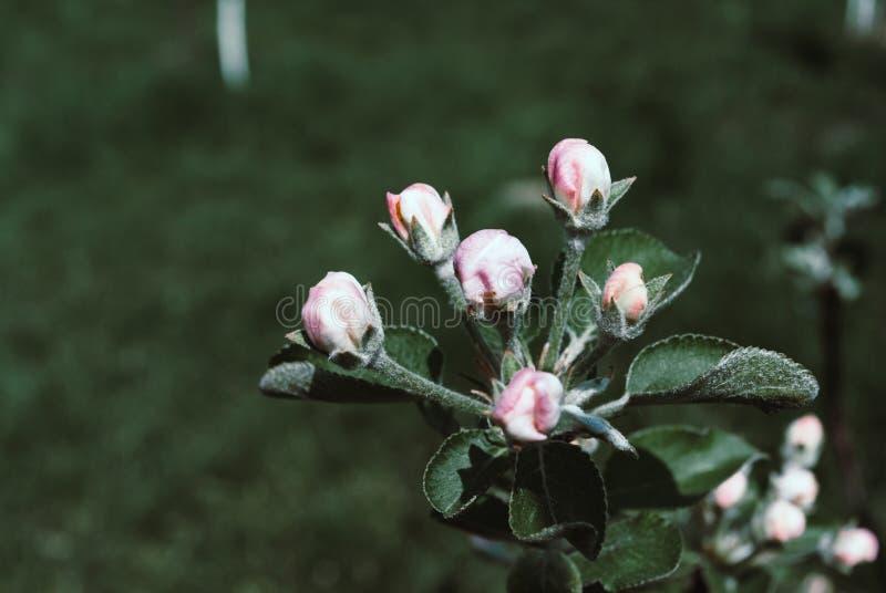 Våräppleträd; härliga blommor mot bakgrund field blåa oklarheter för grön vitt wispy natursky för gräs arkivfoton