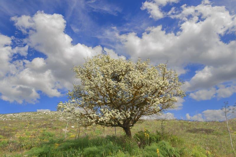 Vår Alta Murgia National Park: löst mandelträd i blom Apulia-ITALIEN arkivbilder