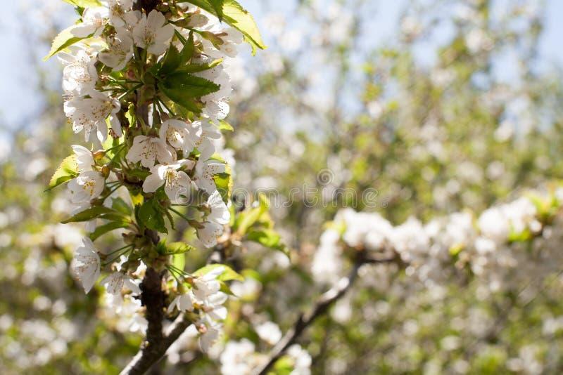 Vår Apple träd i blomning arkivfoto